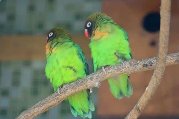 Gambar Burung Lovebird Pipi Hitam