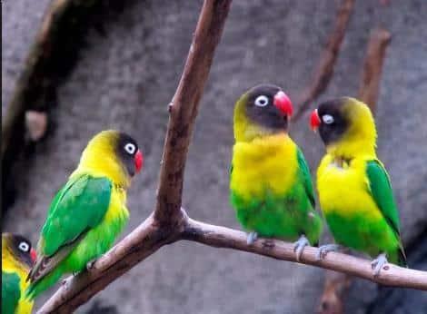 Gambar Burung Lovebird Topeng