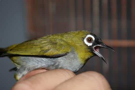 Gambar Burung Pleci Black Capped