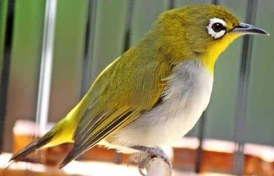 Gambar Burung Pleci Buxtoni