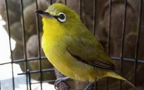 Gambar Burung Pleci Dakun Kuning Bali