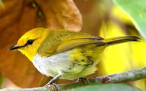 Gambar Burung Pleci Sulawesi