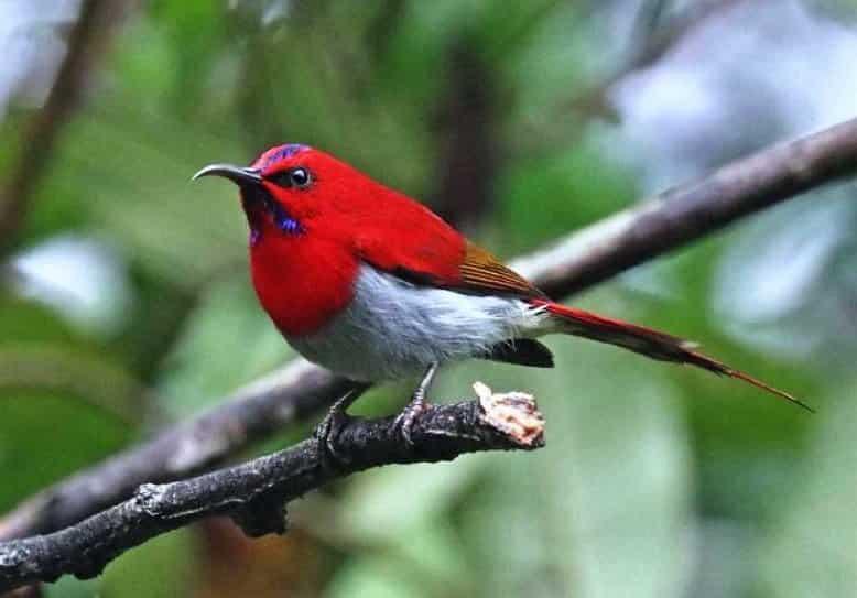 Burung Kolibri Ekor Merah