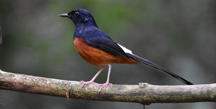 Cara Merawat Burung Murai2
