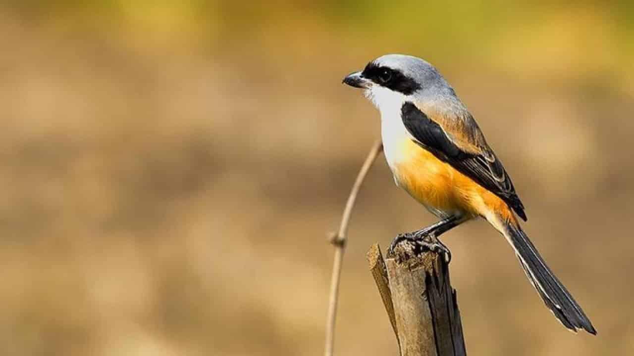 Cara Merawat Burung Pentet