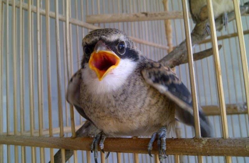 Cara Merawat Burung Pentettt