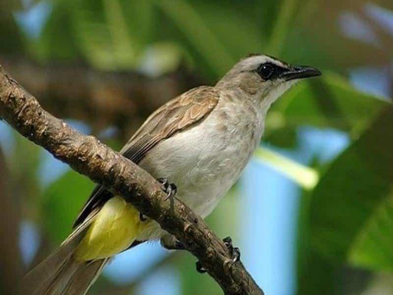 Cara Merawat Burung Trucukan