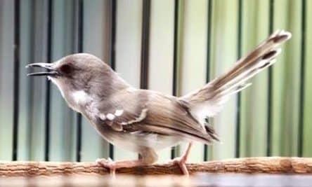 Gambar Burung Ciblek Gacor