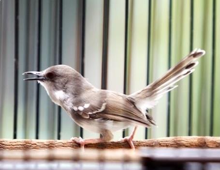 8 Cara Merawat Burung Ciblek Terlengkap Dan Habitat Aslinya