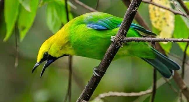 Gambar Burung Cucak Ijo Kalimantan