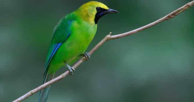 Gambar Burung Cucak Ijo Rante