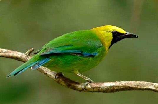 Gambar Burung Cucak Ijo Sumatera