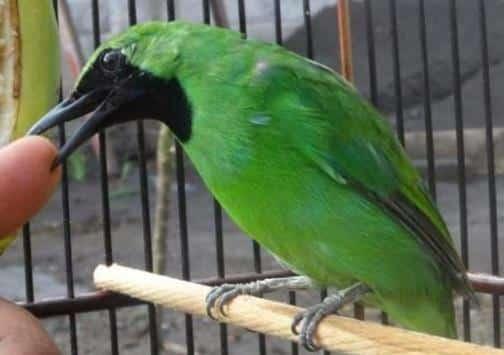 Gambar Burung Cucak ijo Banyuwangi