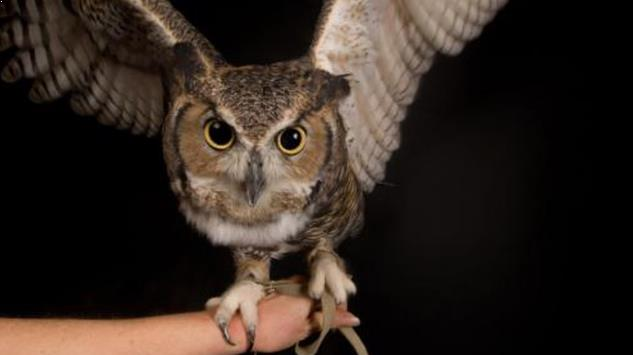 8 Tips Cara Mudah Merawat Burung Hantu Anakan