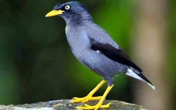 Gambar Burung Jalak Kerbau Gacor