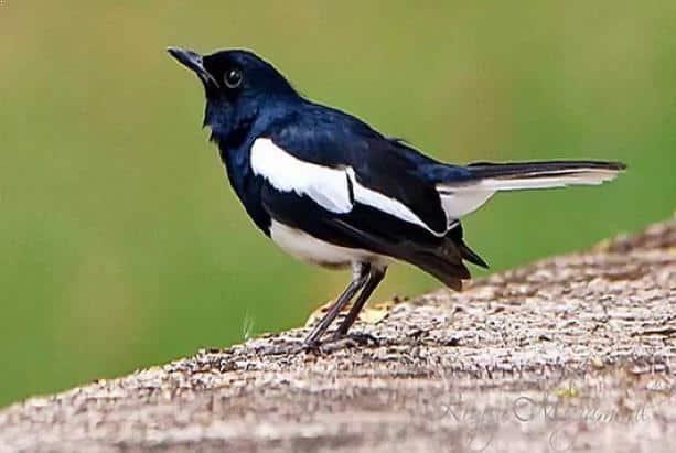Gambar Burung Kacer Jantan