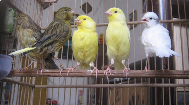 Gambar Burung Kenari Semua Jenis