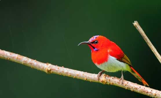 Gambar Burung Kolibri Ekor Merah
