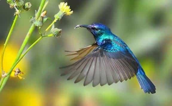 Gambar Burung Kolibri Ninja