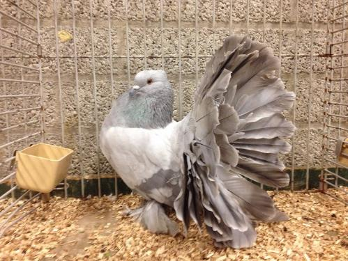 Gambar Burung Merpati Hias Indian Fantail