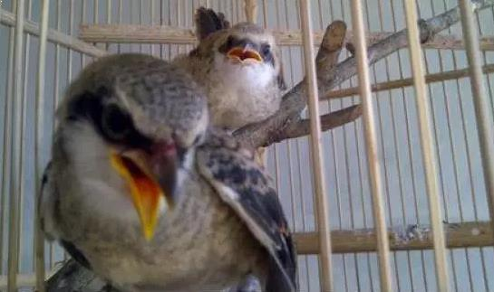 Gambar Burung Pentet Gacor