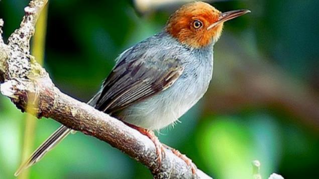 Gambar Burung Prenjak Kepala Merah