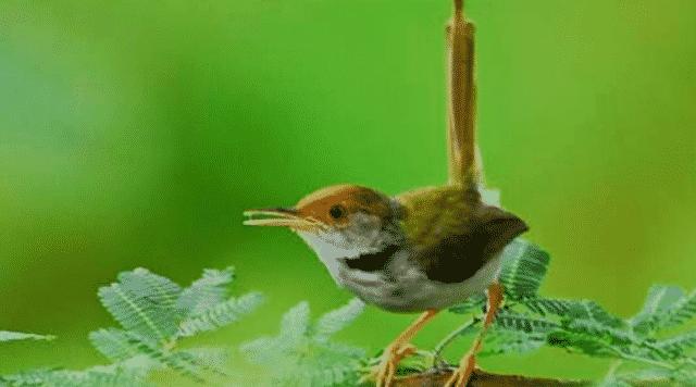 Gambar Burung Prenjak Lumut