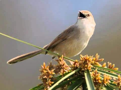 Gambar Burung Prenjak Sawah