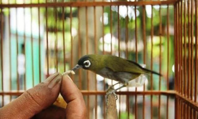Gambar Pakan Burung Pleci