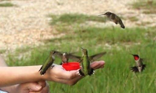 Gambar Perawatan Burung Kolibri