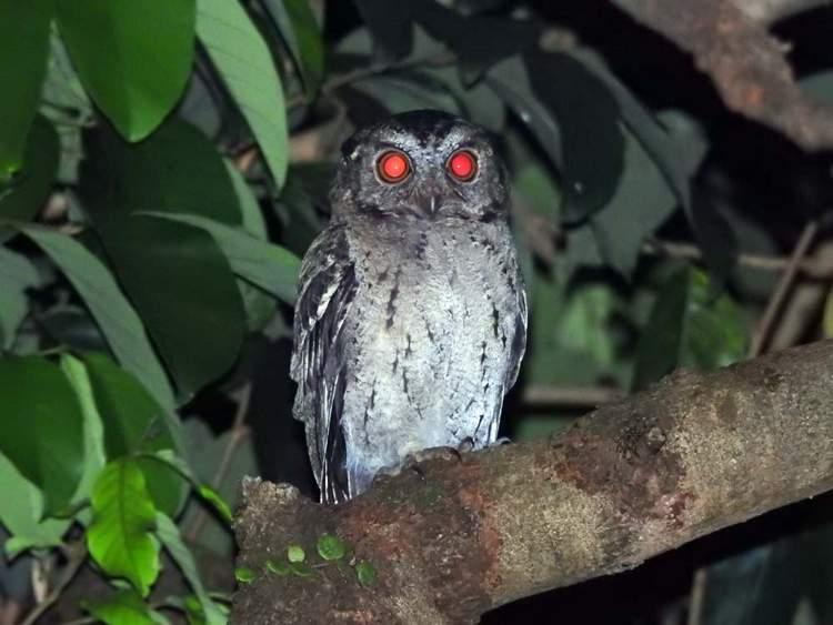Macam Macam Makanan Burung Hantu Beserta Jenisnya
