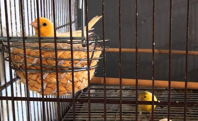 Cara Menjodohkan Burung Kenari