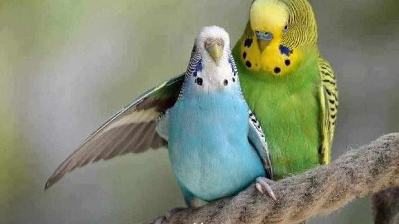 Cara Merawat Burung Parkit