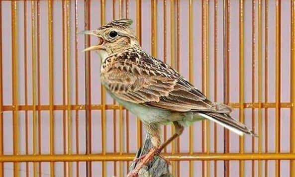 Gamar Burung Branjangan Gacor