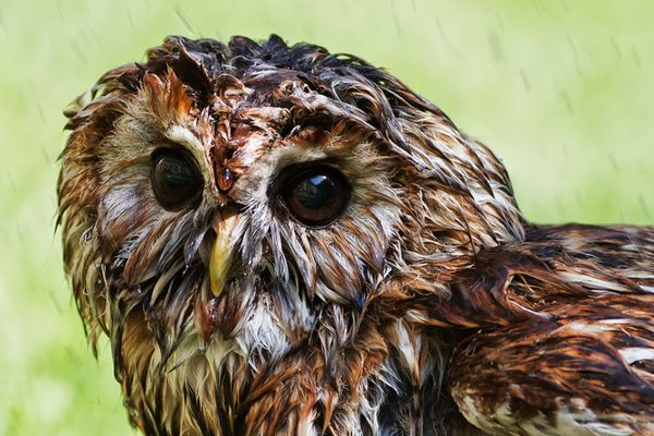 Gambar Bulu Burung Hantu