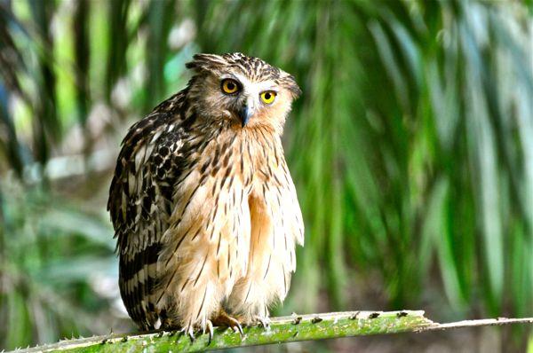 Gambar Burung Hantu Buffy Fish Owl