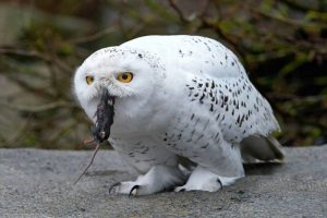 Gambar Burung Hantu Salju