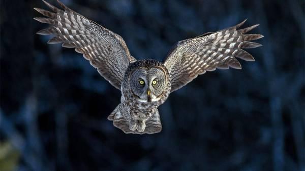Gambar Burung Hantu Terbang