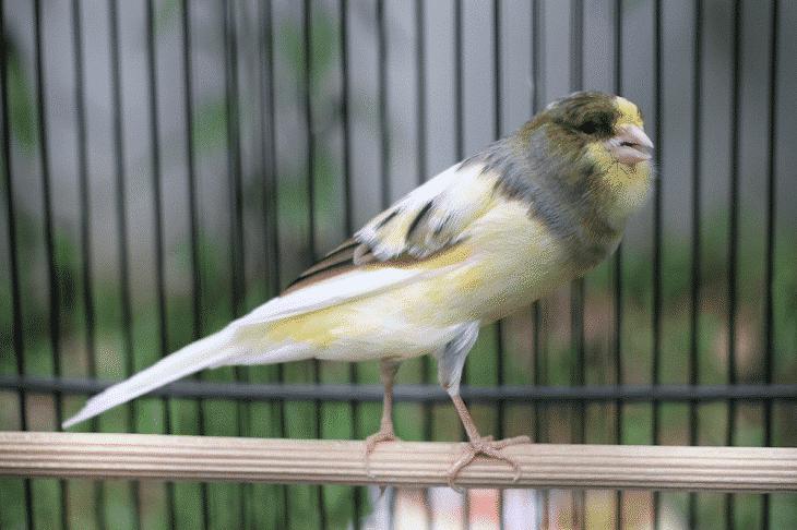 Makanan Burung Kenari Agar Cepat Gacor