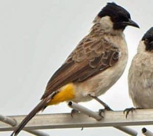 Gambar Burung Kutilang Jantan