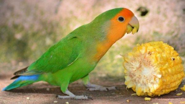 Gambar Burung Lovebird Makan