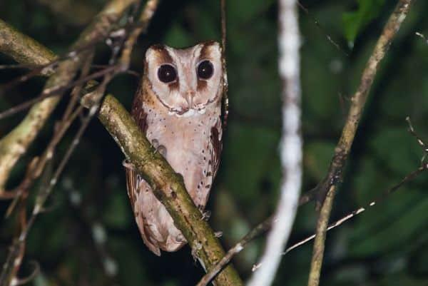Gambar Burung Oriental Bay Owl