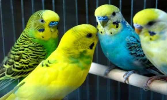 Cara Merawat Burung Parkit Agar Cepat Gacor