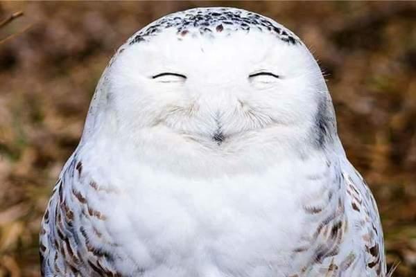 Gambar Mata Palsu Burung Hantu