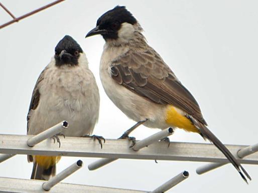 Gambar Penjemuran Burung Kutilang