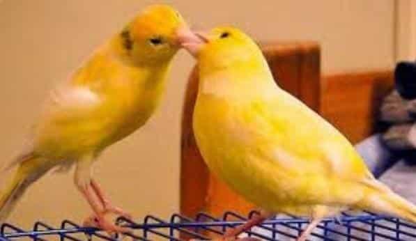 Gambar Proses Penjodohan Burung Kenari