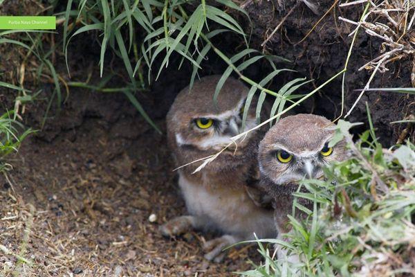 Gambar Sarang Burung Hantu