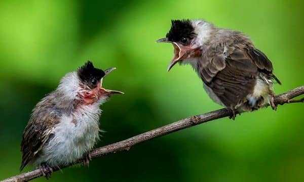 Makanan Burung Kutilang Anakan Dan Agar Cepat Gacor
