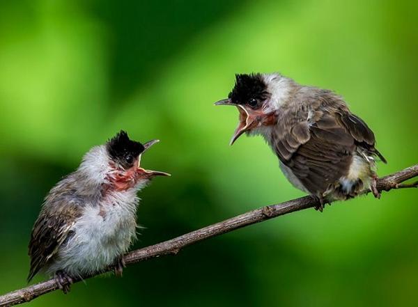 Gambar Burung Kutilang Gacor