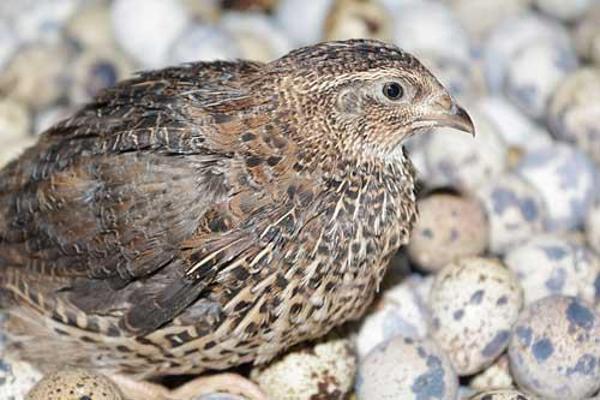 Gambar Burung Puyuh Batu